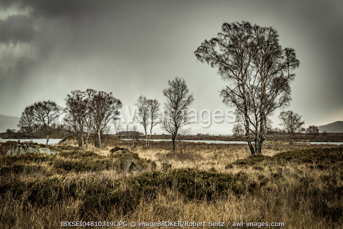Birches (Betula) in moor landscape with dark sky, Glen Coe, Rannoch Moor, west Highlands, Scotland, United Kingdom, Europe