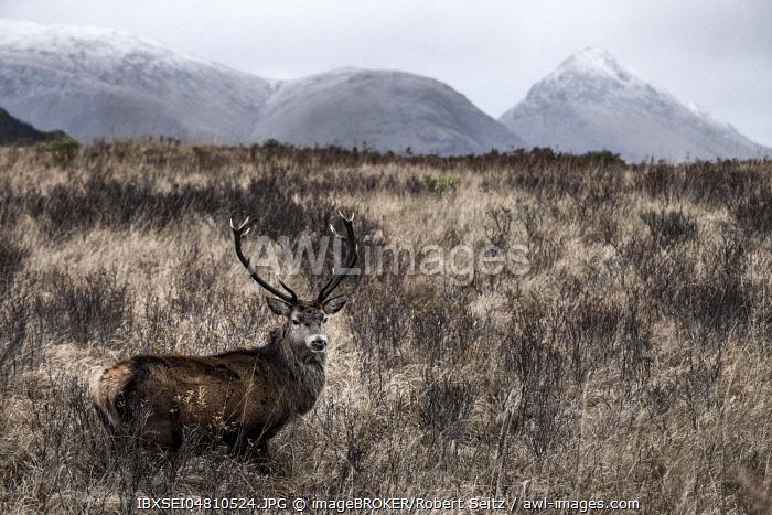 Red deer (Cervus elaphus) in Grassland, Glen Coe, Fort William, Highlands, Scotland, United Kingdom, Europe