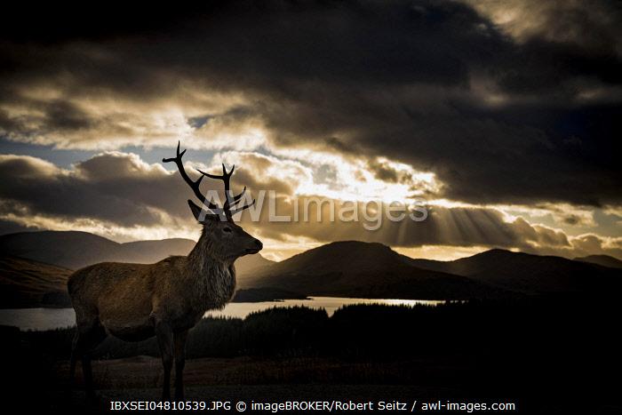 Red deer (Cervus elaphus) backlit, Glen Coe, Fort William, Highlands, Scotland, United Kingdom, Europe