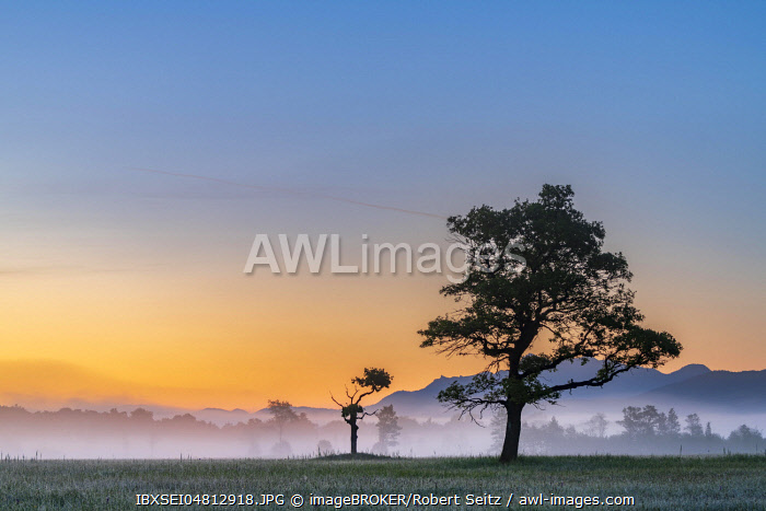 Big and small tree in backlight in the early morning at sunrise, Murnauer moss, Murnau, Oberbayern, Germany, Europe