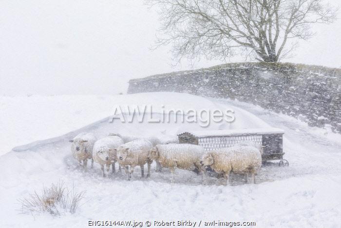 England, West Yorkshire, Calderdale. Sheep in snow drifts near Hebden Bridge.