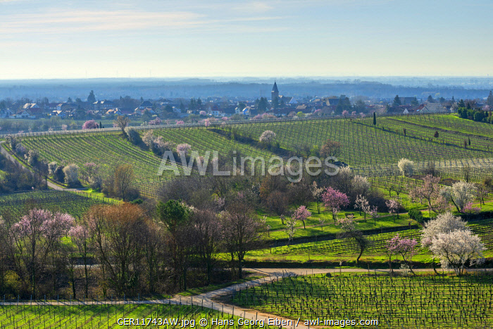 Flourishing almond trees at Gimmeldingen with view at Mussbach, Rhineland-Palatinate, Germany