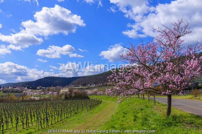 Flourishing almond trees at Gimmeldingen, Rhineland-Palatinate, Germany