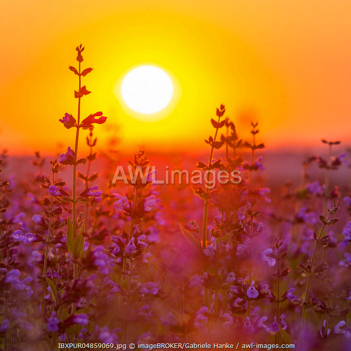 Sunrise over a field with flowering sage (salvia officinalis), cultivation, Freital, Saxony, Germany, Europe