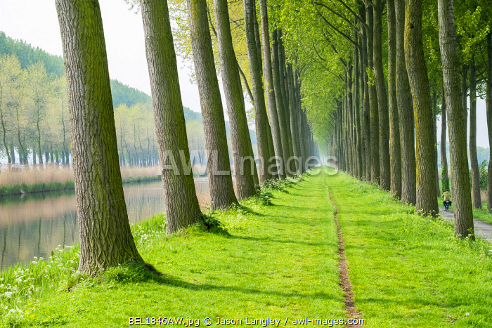 Rows of trees along a canal in spring, Damme, West Flanders, Belgium