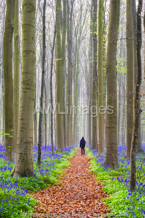 Belgium, Vlaanderen (Flanders), Halle. A female hiker stand among Bluebell flowers (Hyacinthoides non-scripta) in a hardwood beech forest in early spring in the Hallerbos forest. (MR)