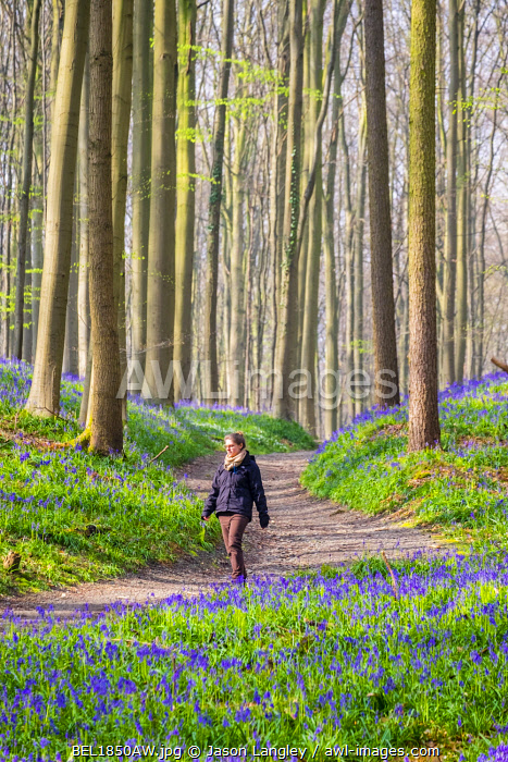 Belgium, Vlaanderen (Flanders), Halle. Female hiker walks past bluebell flowers (Hyacinthoides non-scripta) in a hardwood beech forest in early spring in the Hallerbos forest. (MR)