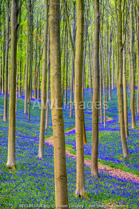 Belgium, Vlaanderen (Flanders), Halle. Bluebell flowers (Hyacinthoides non-scripta) carpet hardwood beech forest in early spring in the Hallerbos forest.