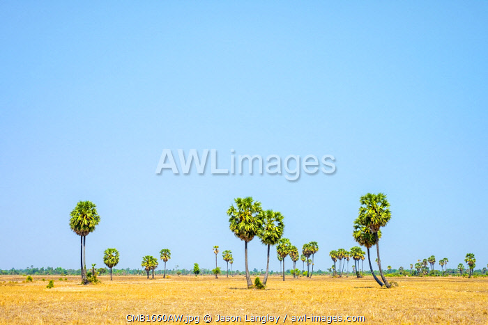 Palm trees and blue sky, empty Cambodian landscape, Siem Reap Province, Cambodia