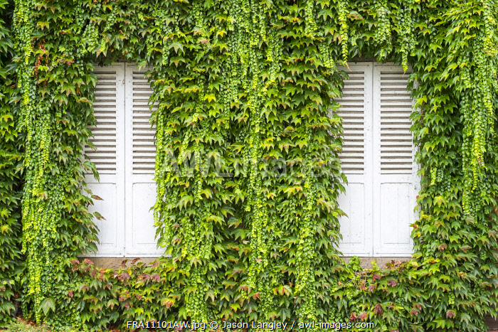 Closed shutters on a house with vines (Parthenocissus tricuspidata) growing on wall, Argentat, Corrèze department, Limousin, France.