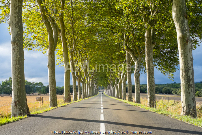 Plane Trees (Platanus × acerifolia) along tree-lined highway, Aude Department, Languedoc-Roussillon, France.