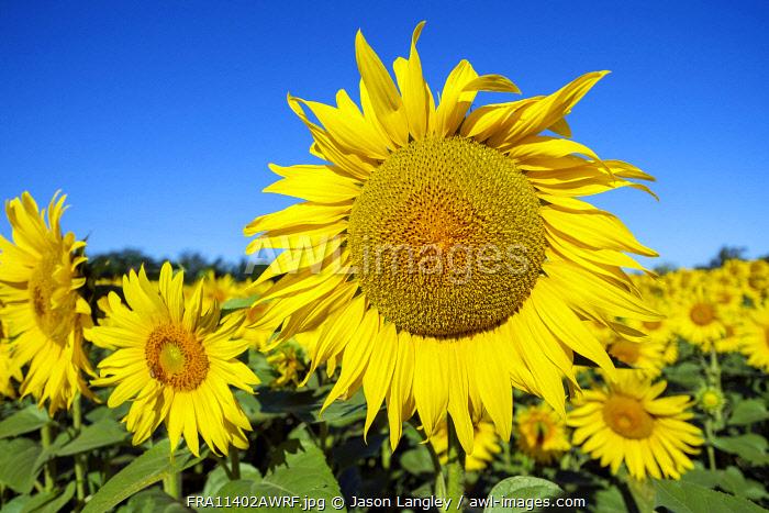 Giant yellow sunflowers in full bloom, Oraison, Alpes-de-Haute-Provence, Provence-Alpes-Côte d'Azur, France
