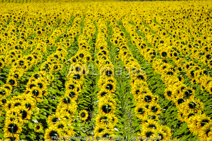 Field of giant yellow sunflowers in full bloom, Oraison, Alpes-de-Haute-Provence, Provence-Alpes-Côte d'Azur, France