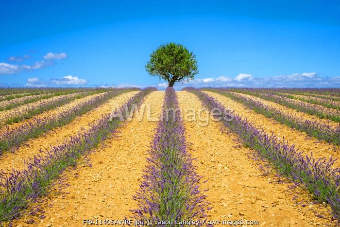 Lavender fields in Provence in height of bloom in early July as the harvest begins on the Plateau de Valensole, Provence-Alpes-Côte d'Azur, France