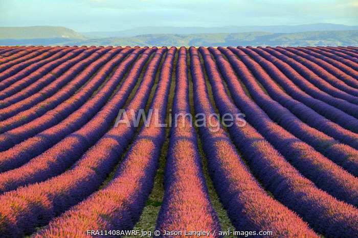 Rows of purple lavender in height of bloom in early July in a field on the Plateau de Valensole at sunrise, Provence-Alpes-Côte d'Azur, France