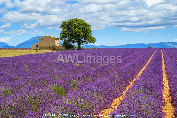 House on the edge of a lavender field in full bloom in early July, Plateau de Valensole, near Valensole, Alpes-de-Haute-Provence, Provence-Alpes-Côte-d'Azur, France