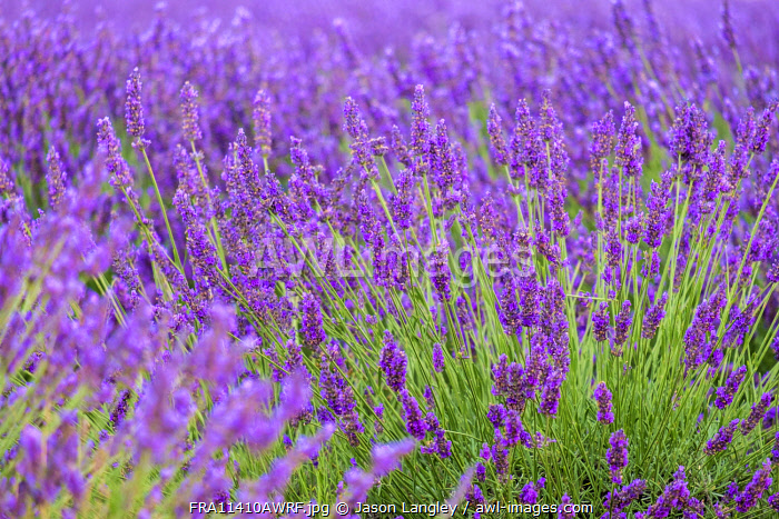 Lavender blossoms in height of bloom in early July, Plateau de Valensole, near Puimoisson, Provence-Alpes-Côte d'Azur, France