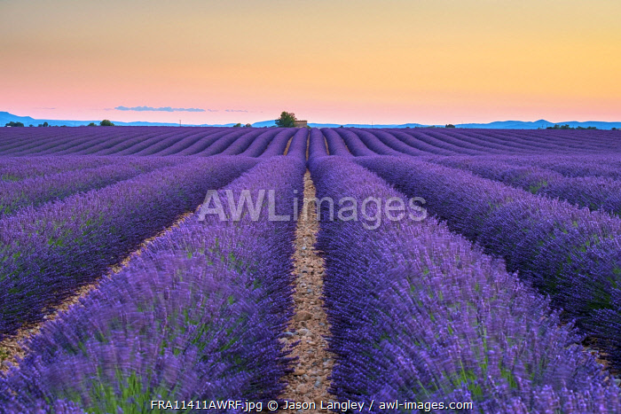 Rows of purple lavender in height of bloom in early July in a field on the Plateau de Valensole at sunset, near Valensole, Alpes-de-Haute-Provence, Provence-Alpes-Côte d'Azur, France
