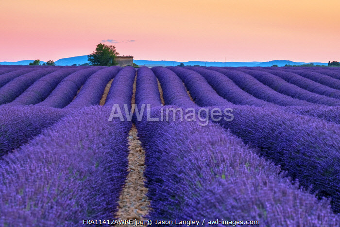 Rows of purple lavender in height of bloom in early July in a field on the Plateau de Valensole at sunset, near Valensole, Provence-Alpes-Côte d'Azur, France