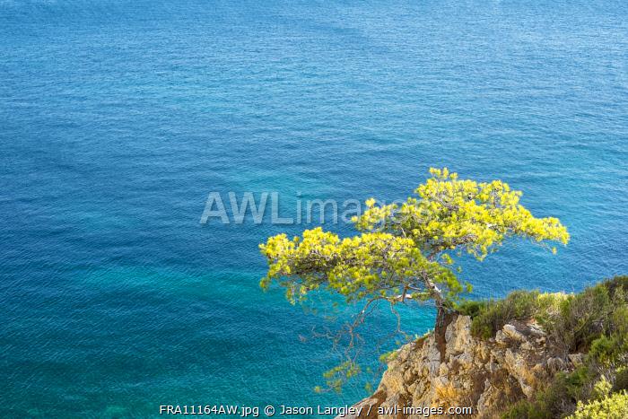 Lone pine tree growing from rocky ledge over blue water, Calanque de Sugiton, Parc National des Calanques, Bouches-du-Rhône, Provence-Alpes-Côte d'Azur, France