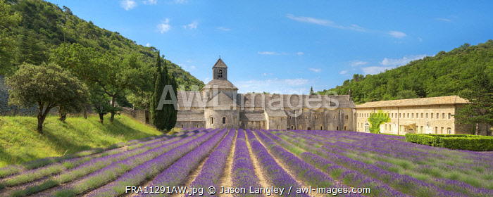 Lavender fields in full bloom in early July in front of Abbaye de Sénanque Abbey, Vaucluse, Provence-Alpes-Côte d'Azur, France