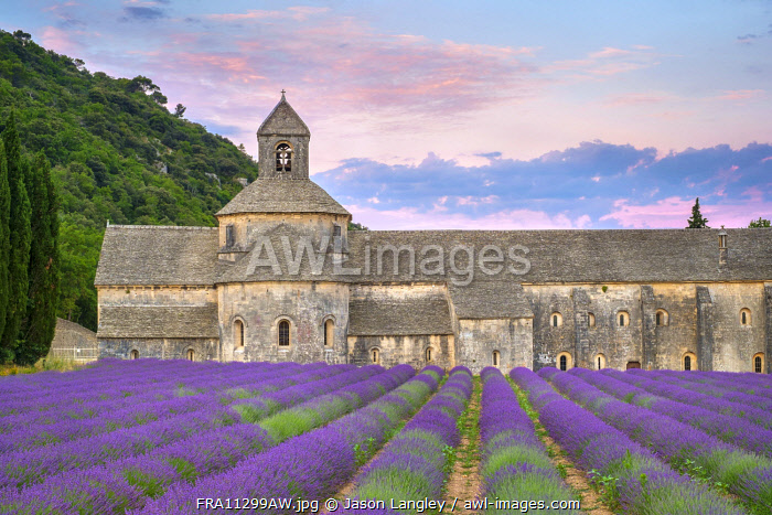 Lavender fields in full bloom in early July in front of Abbaye de Sénanque Abbey at sunrise, Vaucluse, Provence-Alpes-Côte d'Azur, France