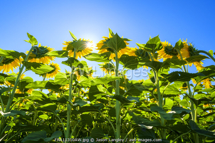 Sun shining through giant yellow sunflowers in full bloom, Oraison, Alpes-de-Haute-Provence, Provence-Alpes-Côte d'Azur, France