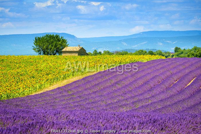 Purple lavender and yellow sunflower fields in Provence in height of bloom in early July on the Plateau de Valensole, Provence-Alpes-Côte d'Azur, France