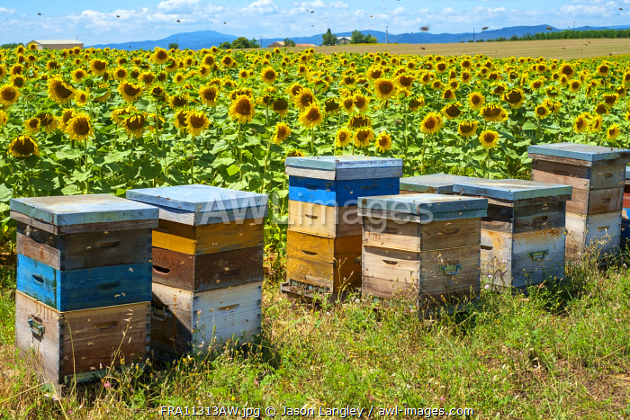 Bees swarming around beehives in sunflower field on the Plateau de Valensole, Alpes-de-Haute-Provence, Provence-Alpes-Côte-d'Azur, France