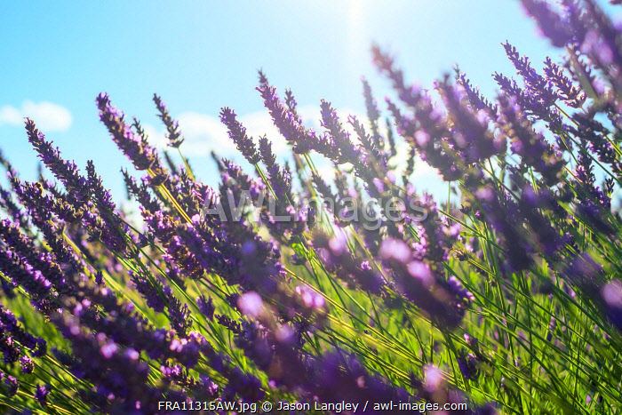 Lavender blossoms in height of bloom in early July, Plateau de Valensole, Provence-Alpes-Côte d'Azur, France