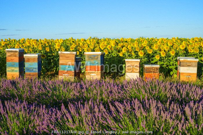 Beehives between lavender and sunflower fields on the Plateau de Valensole, Alpes-de-Haute-Provence, Provence-Alpes-Côte-d'Azur, France