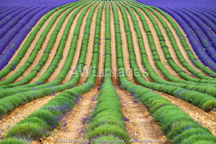 A lavender field in full bloom after the first rows of lavender have been cut as the harvest begins, Plateau de Valensole, near Puimoisson, Provence-Alpes-Côte d'Azur, France