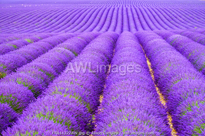 Rows of purple lavender in height of bloom in early July in a field on the Plateau de Valensole near Puimoisson, Provence-Alpes-Côte d'Azur, France