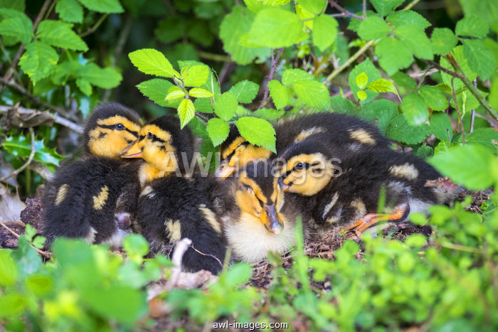 Young baby ducks, ten day old ducklings in the grass, La Creuse, Limousin, France