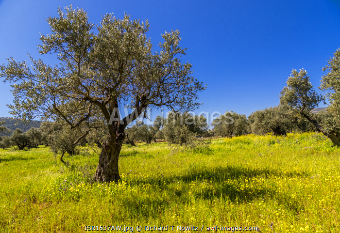 awl-images.com - Israel / Yellow wild mustard seed flowers carpet the ground in an orchard of Olive trees in the Galilee, Israel.