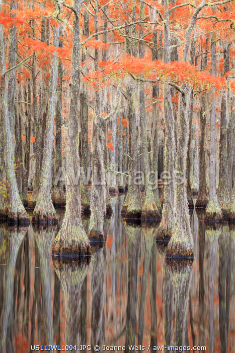 USA, Georgia. Cypress trees in the fall at George Smith State Park.