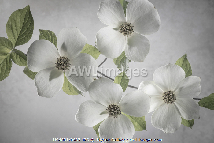 USA, Washington State, Gifford Pinchot National Forest. Pacific dogwood limbs and flowers