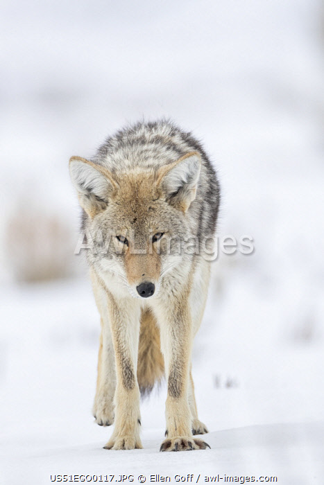 USA, Wyoming, Yellowstone National Park. Portrait of a coyote in the sage and snow.