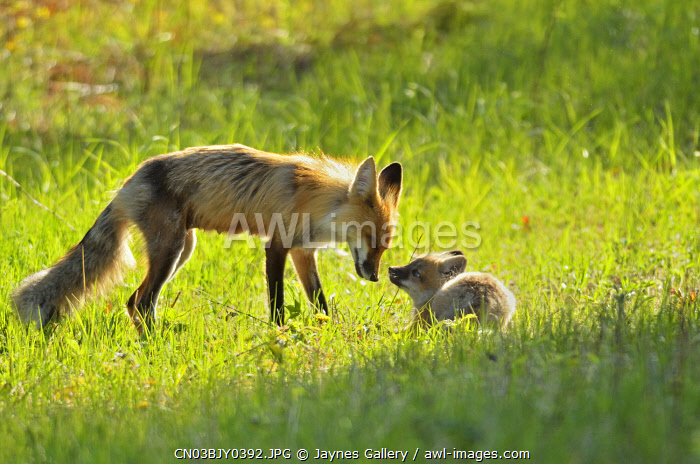 awl-images.com - Canada / Canada, Manitoba, Whiteshell Provincial Park. Red fox mother with kit