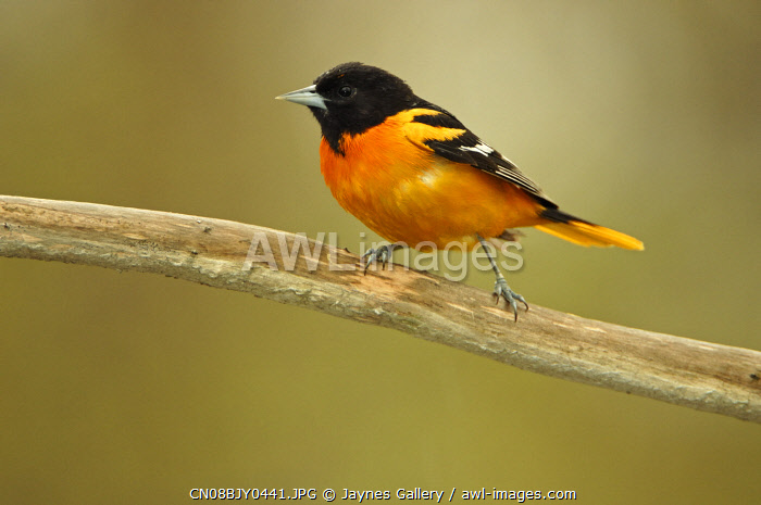 awl-images.com - Canada / Rondeau Provincial Park. Baltimore oriole on branch