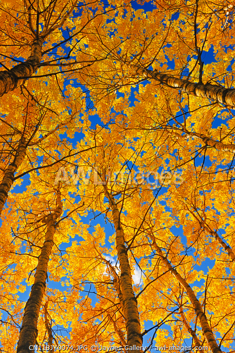 awl-images.com - Canada / Canada, Saskatchewan, Prince Albert National Park. Trembling aspen forest in autumn colors