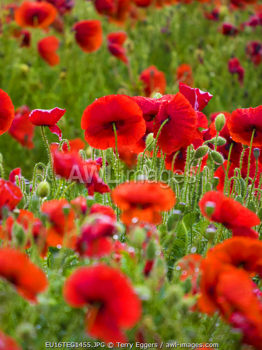 Italy, Sicily, Trapani. Poppies, olive groves and vineyards in spring