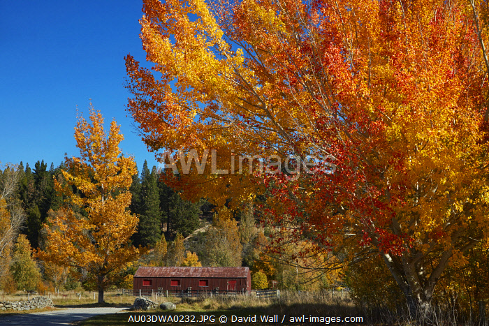 Autumn color and woolshed, near Twizel, Mackenzie Country, Canterbury, South Island, New Zealand