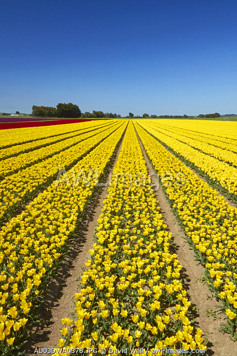 Colorful tulip fields, Edendale, Southland, South Island, New Zealand