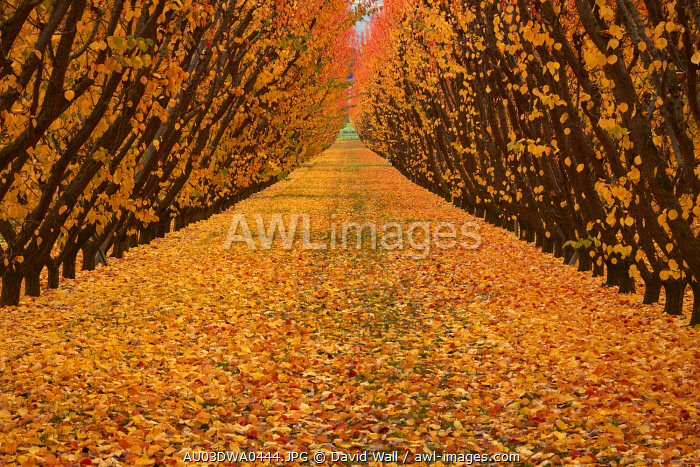Orchard, Cromwell, Central Otago, South Island, New Zealand