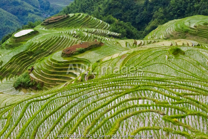 awl-images.com - China / Terraces with newly planted rice seedlings in the mountain, Longsheng, Guangxi Province, China