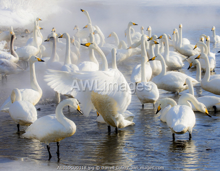 awl-images.com - Japan / Whooper swans on frozen Lake Kussharo, Hokkaido