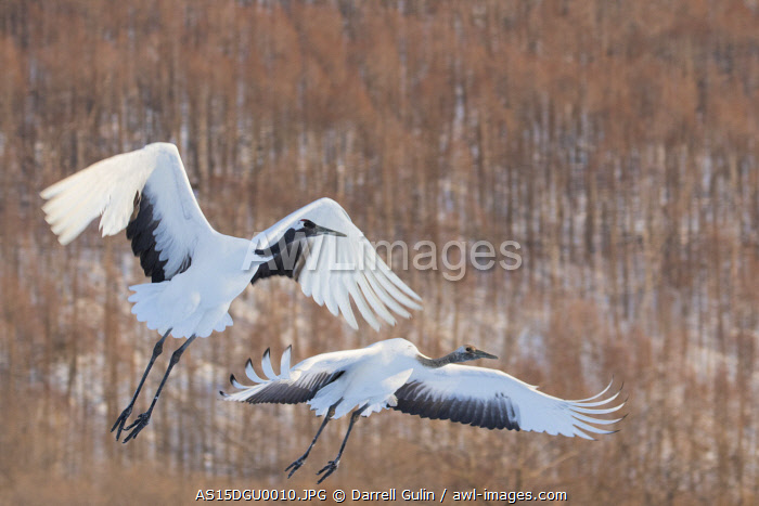 awl-images.com - Japan / Red Crowned Crane of northern island of Hokkaido flying, Japan