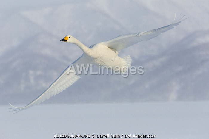 awl-images.com - Japan / Whooper swans flying on frozen Lake Kussharo, Hokkaido.