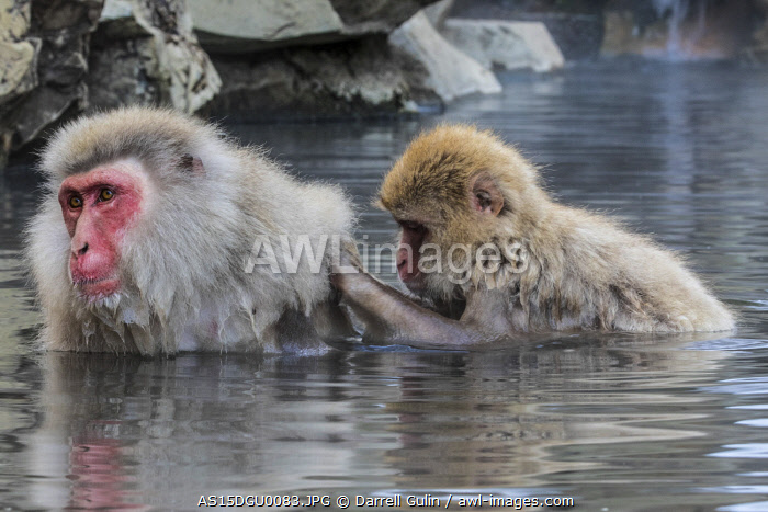 awl-images.com - Japan / Snow Monkeys, Nagano, Japan
